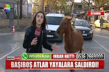 Muhabir habere giderken haber oldu; at saldırdı